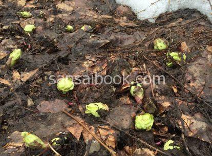 ふきのとう(蕗の薹)の時期・採り方・食べ方・レシピ・栽培方法4