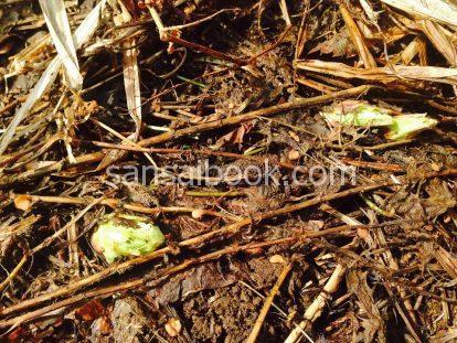 ふきのとう(蕗の薹)の時期・採り方・食べ方・レシピ・栽培方法5